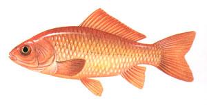 Gold fish for Pond fish stocking calculator